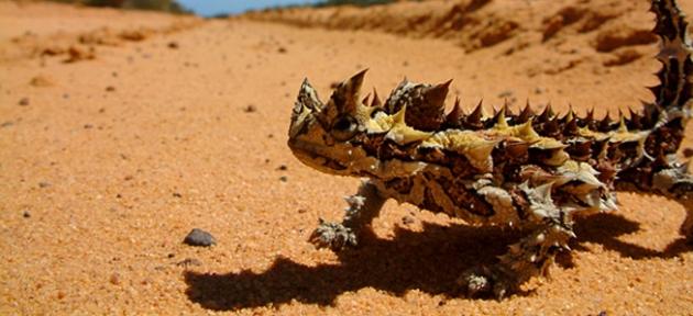 Thorny Devil in Kalbarri National Park
